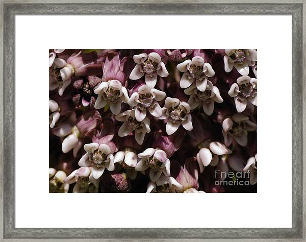 Milkweed Florets Framed Print