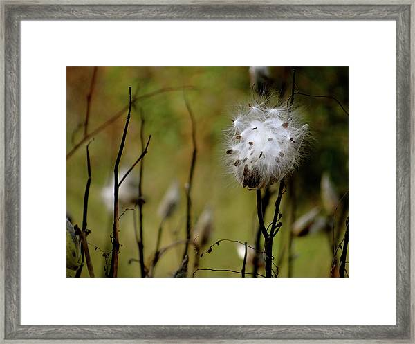 Milkweed In A Field Framed Print