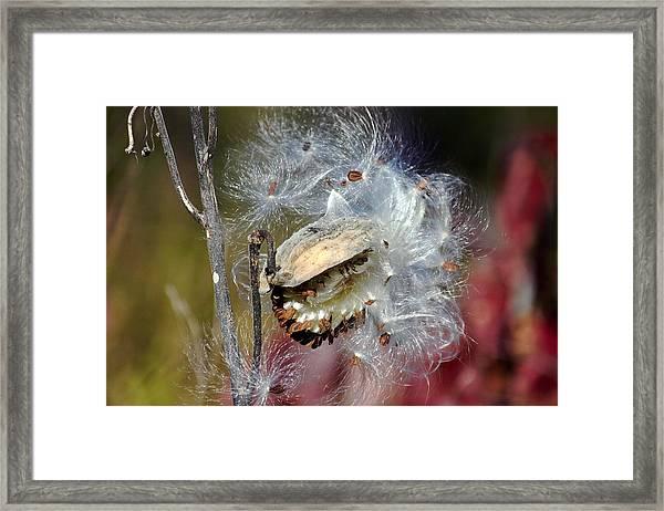 Milkweed Silk Framed Print