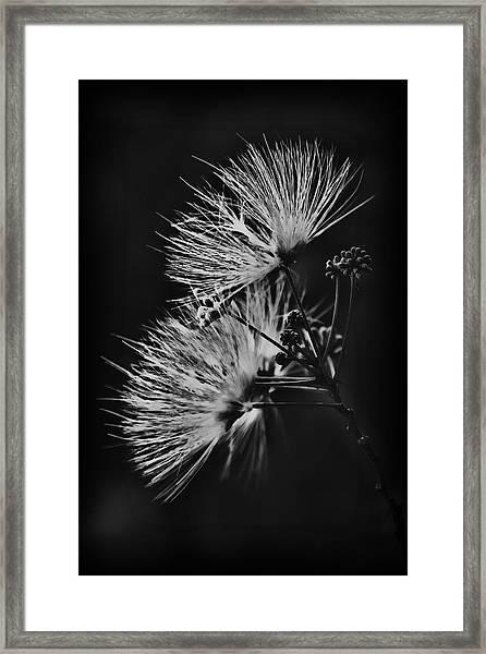 Mimosa Drama Framed Print