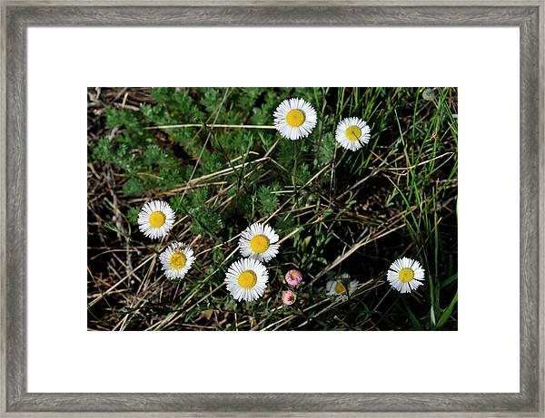 Mini Daisies Framed Print