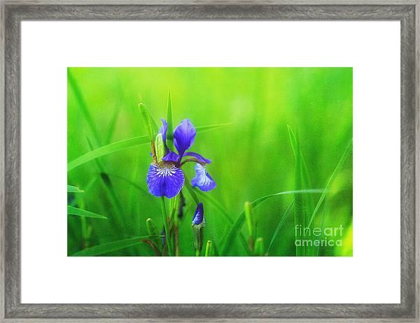 Misty Iris Framed Print