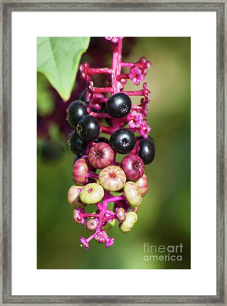 Mixed Berries On Branch Framed Print