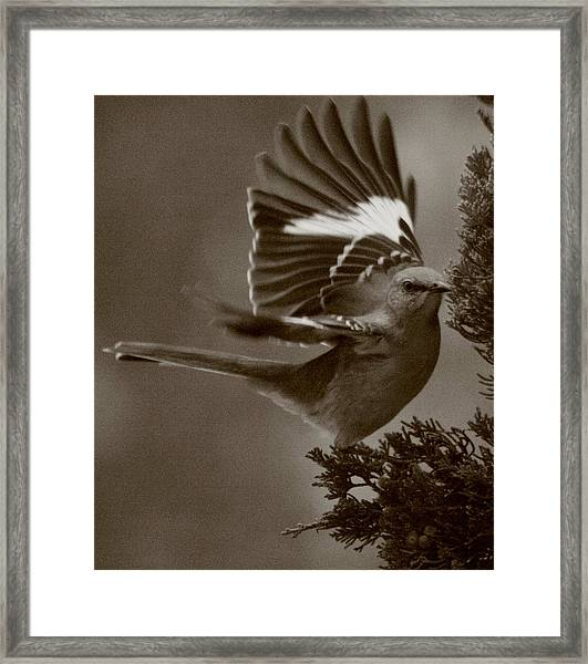 Mockingbird In A Pine Framed Print