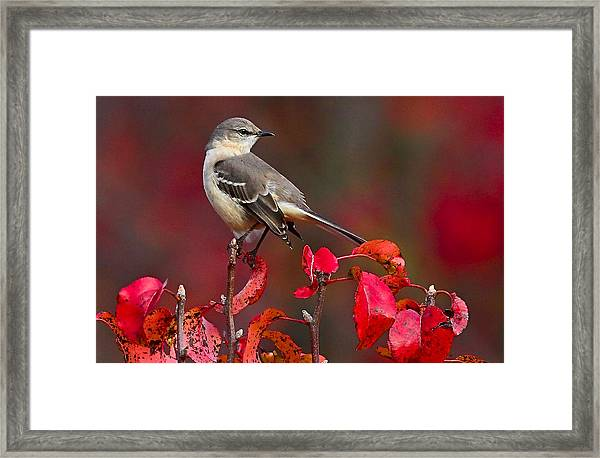 Framed Print featuring the photograph Mockingbird On Red by William Jobes