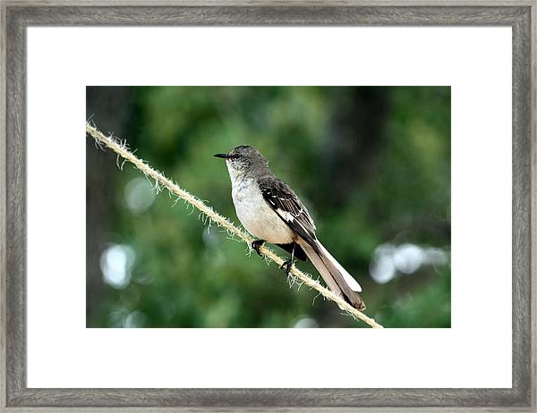 Mockingbird On Rope Framed Print