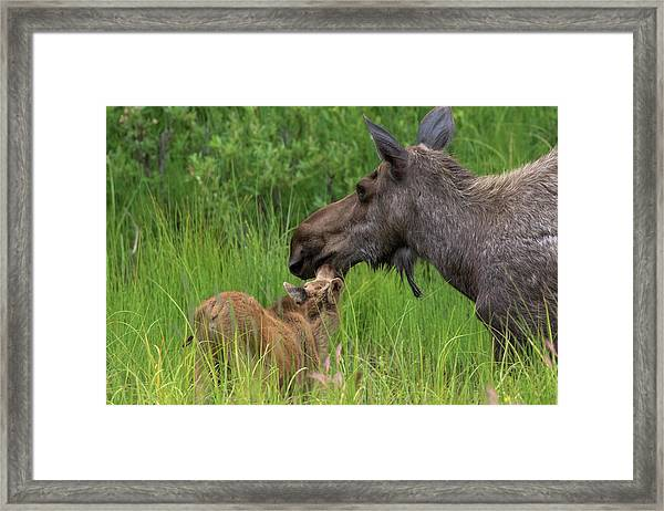 Mom And Baby Moose Framed Print
