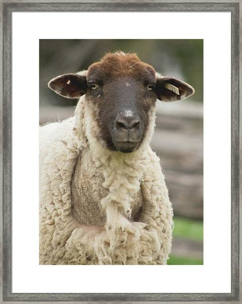 Moma Sheep Framed Print