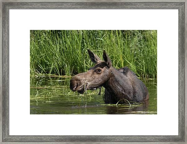Momma Moose Framed Print