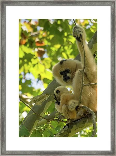 Mommy Gibbon Framed Print