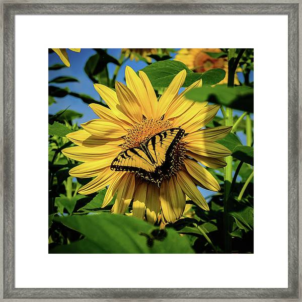 Male Eastern Tiger Swallowtail - Papilio Glaucus And Sunflower Framed Print