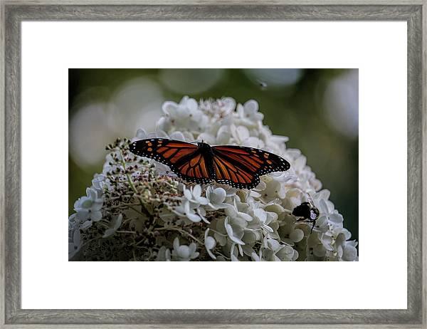 Monarch Butterfly Feeding On Hydrangea Tree Framed Print