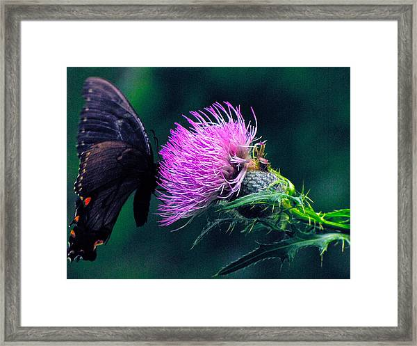 Monarch Butterfly On Milk Thistle Framed Print
