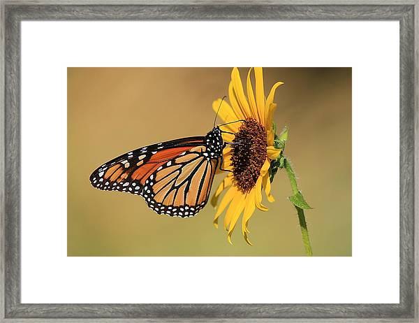 Monarch Butterfly On Sun Flower Framed Print