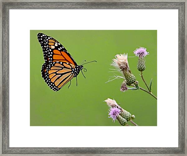 Framed Print featuring the photograph Monarch Butterfly by William Jobes