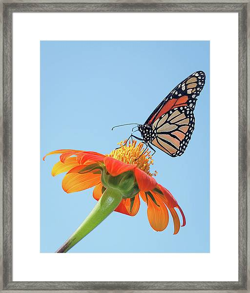 Monarch II Framed Print