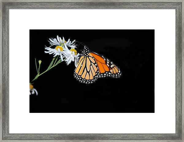 Monarch King Of Butterflies Framed Print