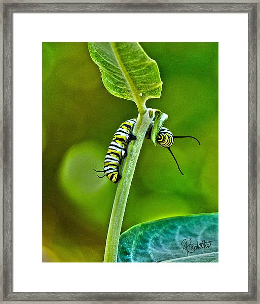 Monarch Munchies Framed Print