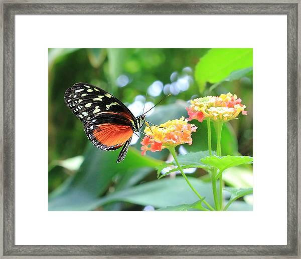 Monarch On Flower Framed Print