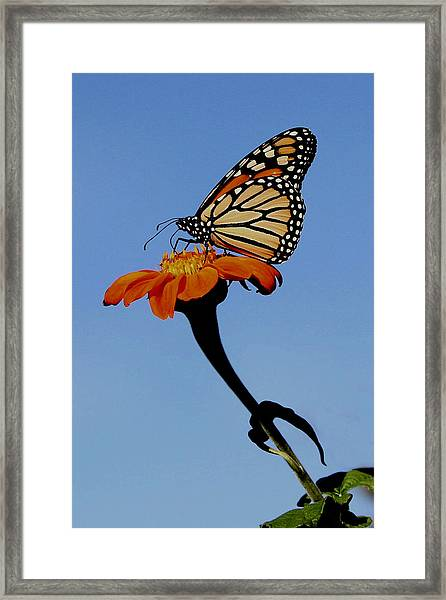 Monarch On Zinnia  Framed Print