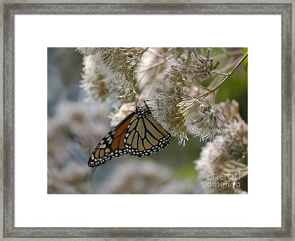 Monarch Pink Framed Print