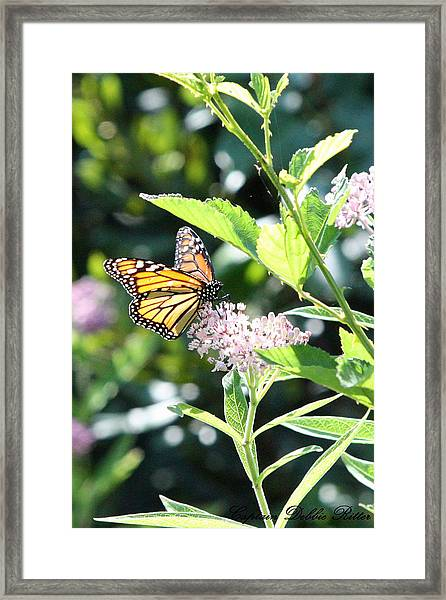Monarch1 Framed Print