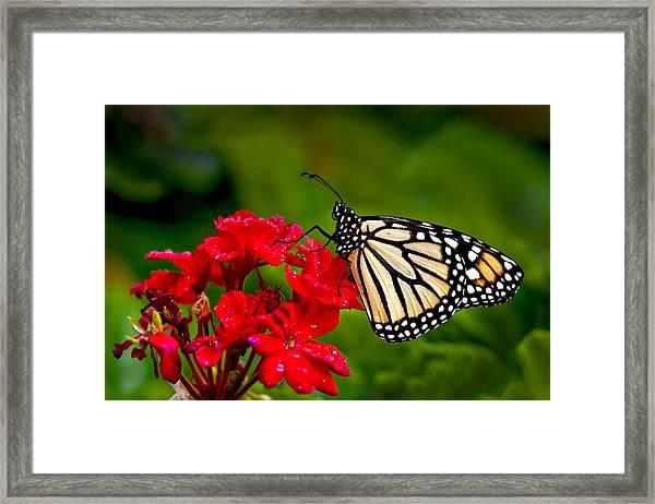Monarh Butterfly Framed Print