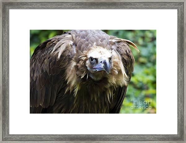 Monk Vulture 3 Framed Print