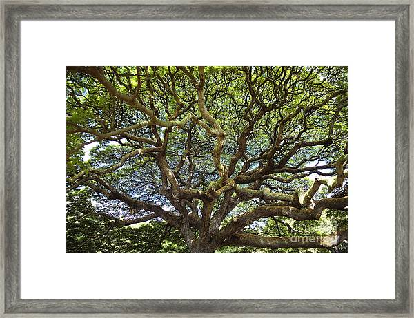 Monkey Pod Branches Framed Print