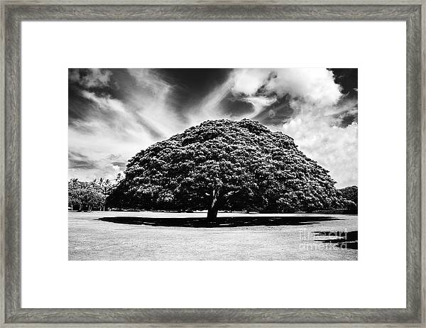 Monkey Pod Tree In Black And White Framed Print