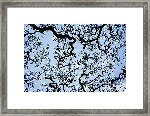 Monkey Pod Tree Patterns Framed Print