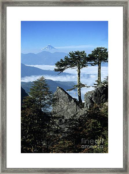 Monkey Puzzle Trees In Huerquehue National Park Framed Print