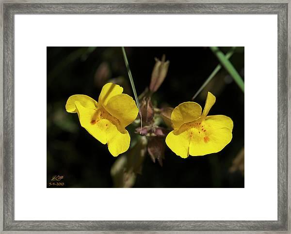 Monkeyflowers Framed Print