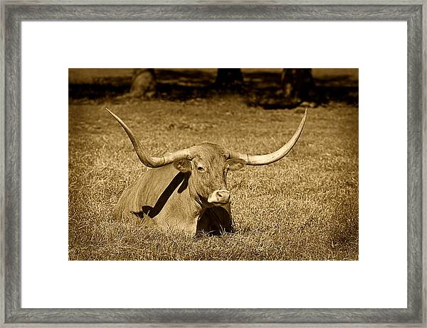 Monochrome Longhorn Cow Rsting In Grass Framed Print