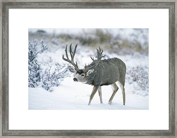 Monster Muley In Snow Framed Print