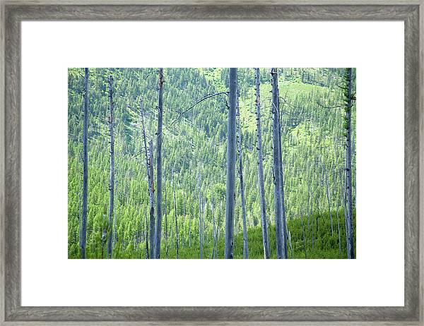 Montana Trees Framed Print