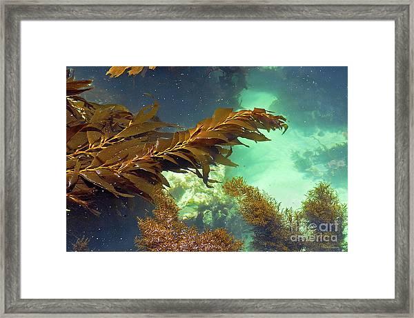 Monterey Bay Seaweed Framed Print