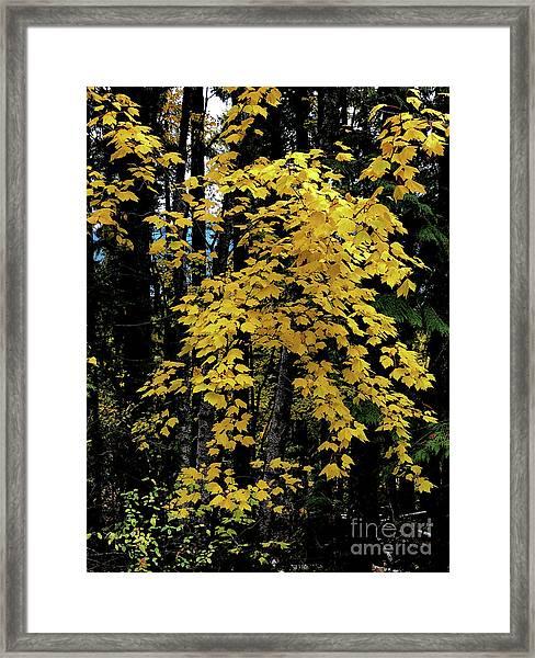 Moon Maple 2 Framed Print