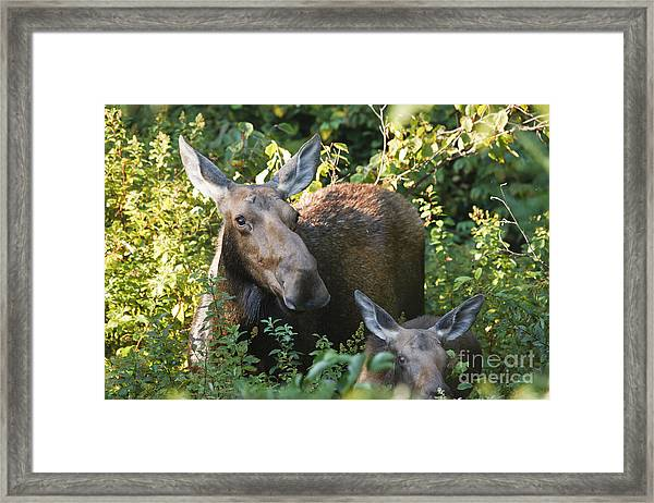 Moose - White Mountains New Hampshire  Framed Print