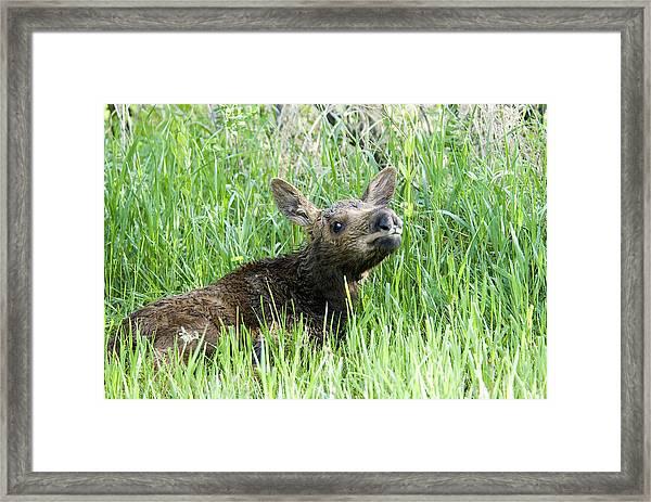 Moose Baby Framed Print