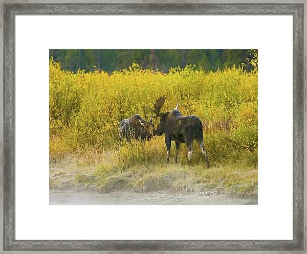 Moose Couple Framed Print