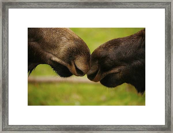 Moose Nuzzle Framed Print