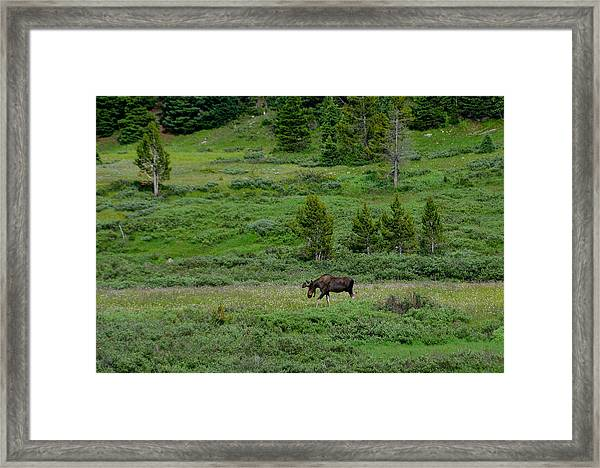 Moose On The Loose Framed Print