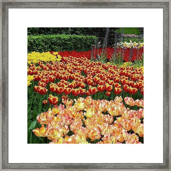 More #tulip Goodness From #keukenhof Framed Print by Dante Harker