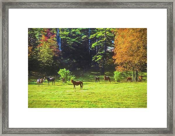 Morgan Horses In Autumn Pasture Framed Print