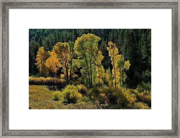 Morning Cottonwoods Framed Print