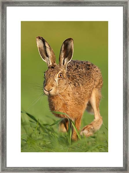 Morning Jogger Framed Print