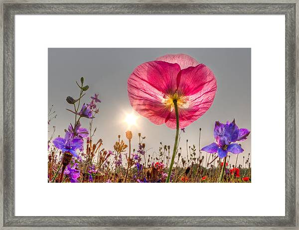 Morning Pink Framed Print