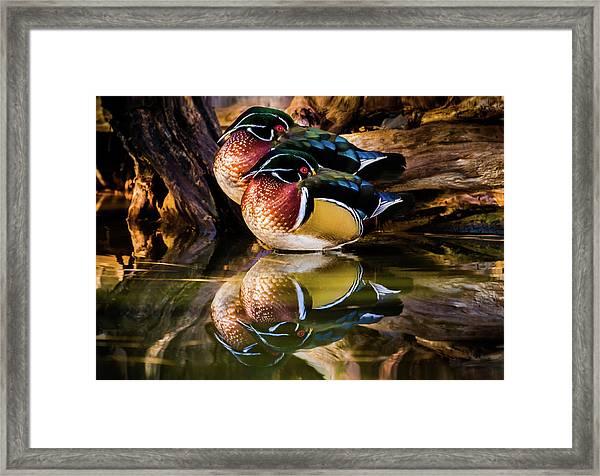 Morning Reflections - Wood Ducks Framed Print