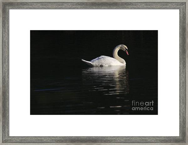 Morning Swan Framed Print